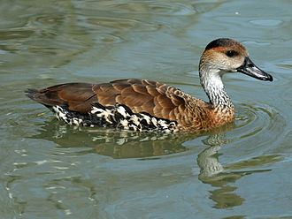 Whistling duck - Image: West Indian Whistling Duck (Dendrocygna arborea) RWD2