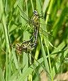 Western Clubtails (Gomphus pulchellus) mating (34971061700).jpg