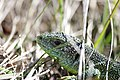 Western Green Lizard - Lacerta bilineata (16381042543).jpg