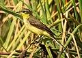 Western Yellow Wagtail Motacilla flava by Dr. Raju Kasambe DSCN3145 (7).jpg