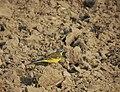 Western yellow wagtail.jpg