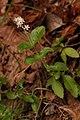 Whipplea modesta 4969.JPG