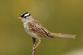 White-crowned sparrow species of bird