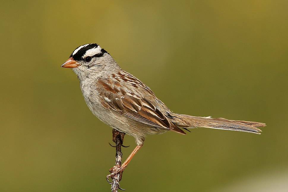 White-crowned-Sparrow