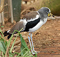White-crowned Plover Vanellus albiceps Fluffing 1900px.jpg