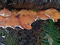 White-edged mushroom (6090605826).jpg