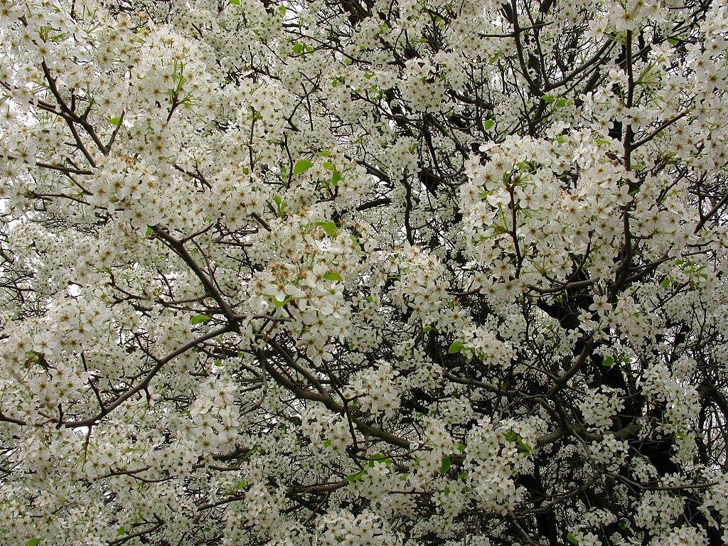 File White flowers everywhere blooming tree West Virginia ForestWander
