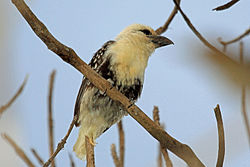 White-headed Barbet, Lake Manyara, Tanzania (8495910236).jpg
