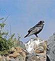 White-necked Raven (Corvus albicollis) (32435670770).jpg
