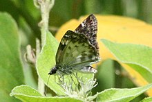 White-patched skipper (Chiomara asychis) ventral.jpg