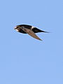 White-rumped swift, Apus caffer, at Suikerbosrand Nature Reserve, Gauteng, South Africa (23057169160).jpg