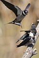 White-throated Swallow, Hirundo albigularis at Marievale Nature Reserve, Gauteng, South Africa. Sequence of two juveniles being fed on the fly by their parents. (15445356348).jpg