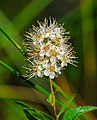 White Meadowseet (Spiraea alba) (42974540091).jpg