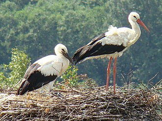 Ciconia - Fledgling (left) and adult European white stork (Ciconia ciconia ciconia)
