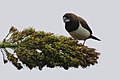 White rumped munia IMG 2759.jpg