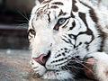 White tiger12.jpg