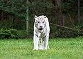 White tiger - Serengeti-Park Hodenhagen 2017 02.jpg