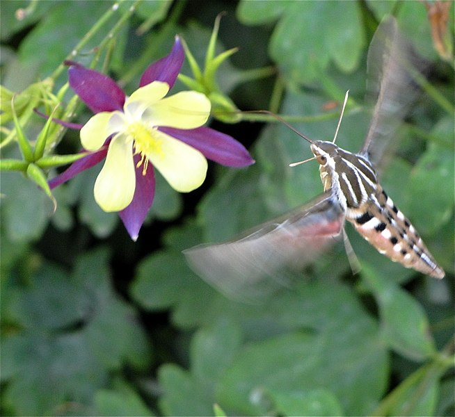 File:Whitelined Sphinx Hummingbird Moth Colorado.JPG