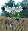 Whooping Crane with Sandhill Cranes in Michigan (30105991314).jpg