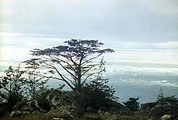 Widdringtonia whytei Mulanje Malawi