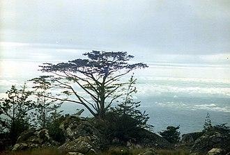 Widdringtonia whytei - Widdringtonia whytei on Mount Mulanje, Malawi