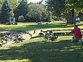 Wild geese enticed, upper green, Newbury MA, September. 2012.JPG