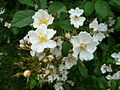 Wild roses, Rosa acicularis, Farncombe - geograph.org.uk - 831807.jpg