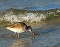 Willet with Snail - Flickr - Andrea Westmoreland.jpg