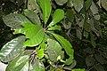 Williamodendron glaucophyllum.jpg