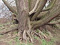 Willow tree roots near the weir on the River Calder - geograph.org.uk - 732735.jpg