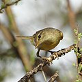 Willow warbler, Phylloscopus trochilus, at Marakele National Park, Limpopo, South Africa (45938436684).jpg