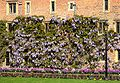 Wisteria Sinensis trained along a wall.jpg
