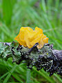 Witch's Butter (Tremella mesenterica) (2140081850).jpg