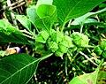 Withania somnifera fruits.jpg