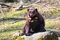 Wolverine sitting on a rock.jpg