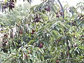 Wzwz tree 11h Cornus mas.jpg