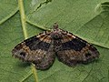 Xanthorhoe ferrugata - Dark-barred twin-spot carpet - Ларенция изменчивая (40918053682).jpg