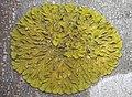 Xanthoria parietina (L.) Beltr 265058.jpg