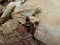 Xylotrechus basifuliginosus.jpg
