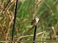 Yellow-bellied Prinia (Prinia flaviventris) (34142723756).jpg