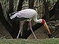 Yellow-billed Stork RWD3.jpg