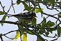 Yellow-throated Warbler Smith Oaks High Island TX 2018-04-17 14-00-30 (27078992967).jpg