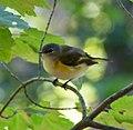 Yellow Bird 2 (6222198953).jpg