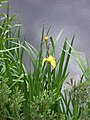 Yellow flag (Iris pseudacorus) - geograph.org.uk - 872028.jpg