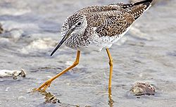 Yellowlegs - natures pics,edit1.jpg