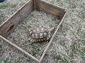 Young Sulcata Tortoise, Valdosta.JPG