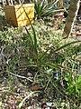 Yucca rupicola fh 1179.92 TX in cultur B.jpg