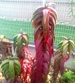 Z Aloe pearsonii - Stellenbosch botanical gardens 3.jpg