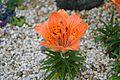 Z Lilium maculatum.JPG