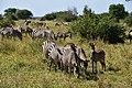 Zebras, Tarangire National Park (10) (28608946642).jpg